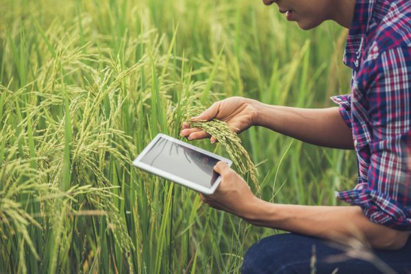 Farmer standing in a rice field with a tablet.
